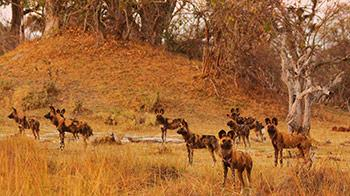 Pack of hyenas in the wild - YPA 12-15 Commended Alicia Hayden