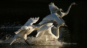 Swans about to take flight - YPA 2011 12-15 Commended Samuel Hood