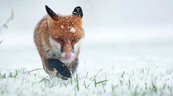 Fox in the snow - YPA 2013 16-18 runner up Oscar Dewhurst