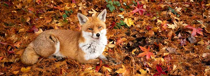 Fox in Autumn leaves © Gideon Knight