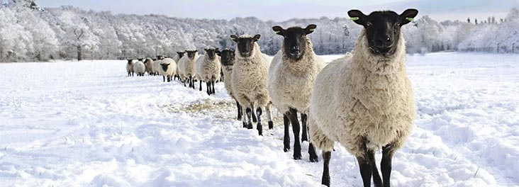 Group of sheep in a snow covered field
